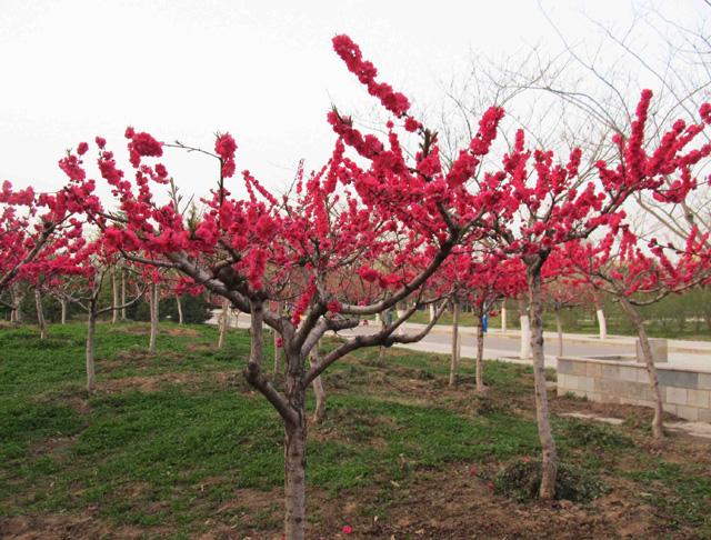 北京常见园林植物 小乔木系列 一