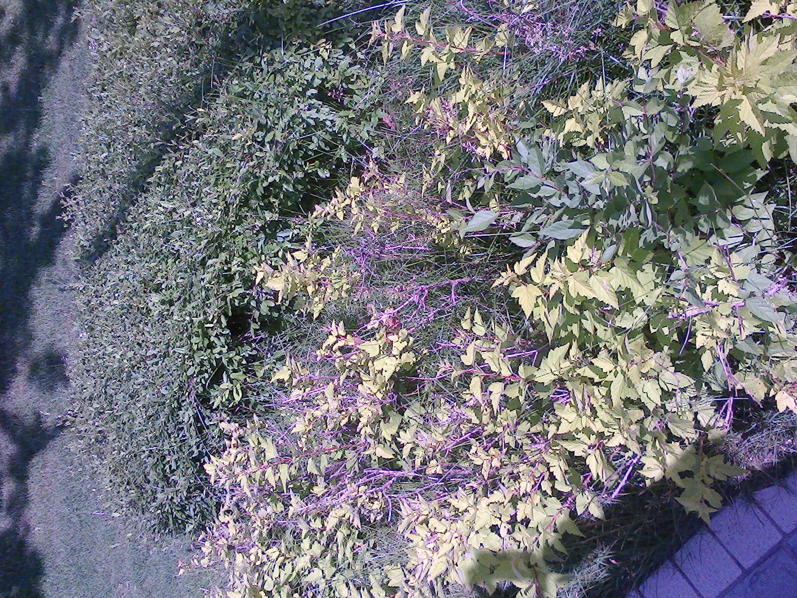 这种北方种植的 绿篱用灌木是什么名字