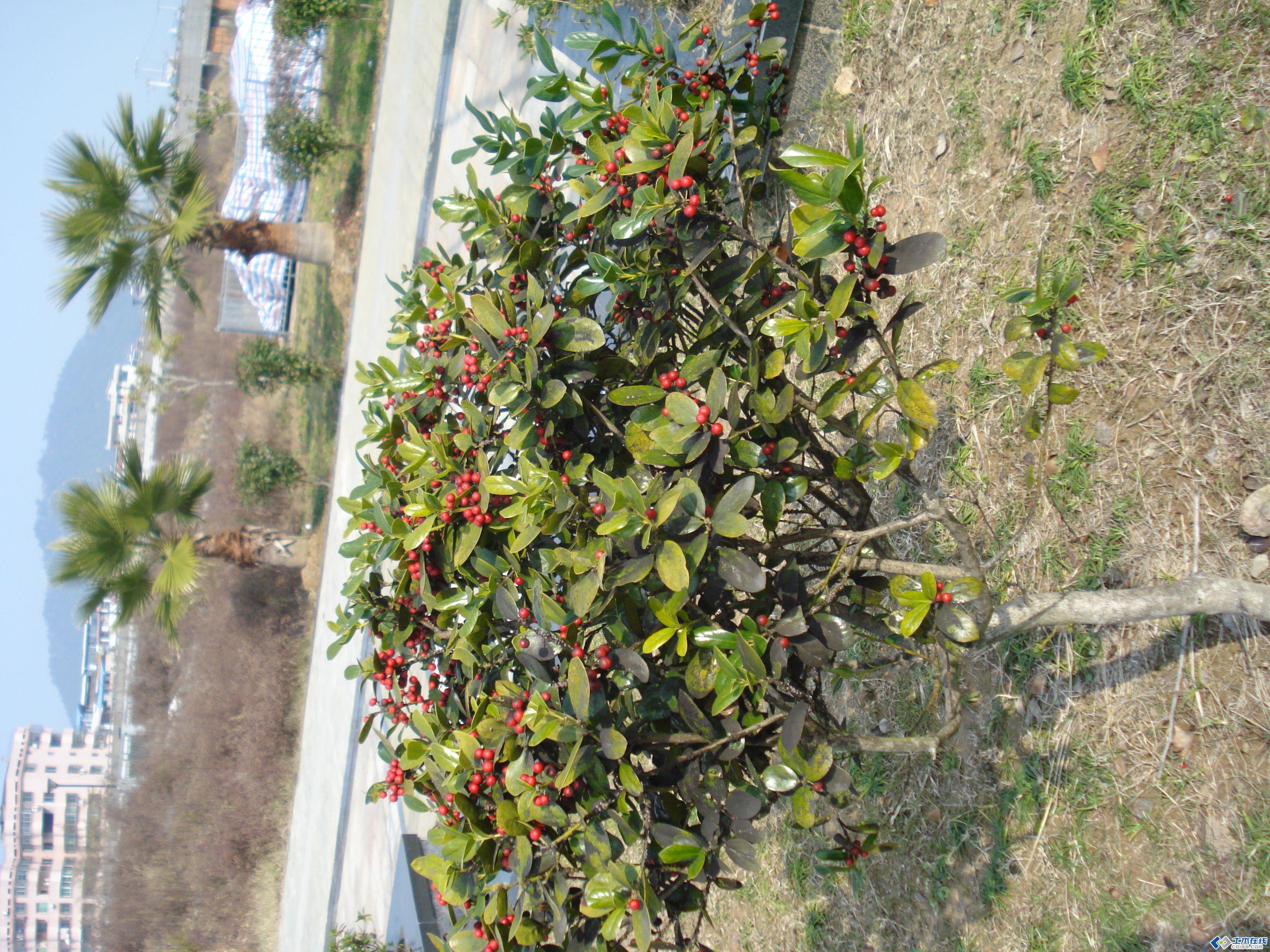 忙看看这两种结红果子的植物是什么