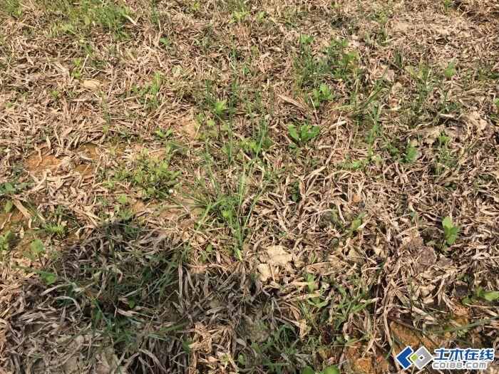 大叶油草草坪中长了很多杂草要如何除掉