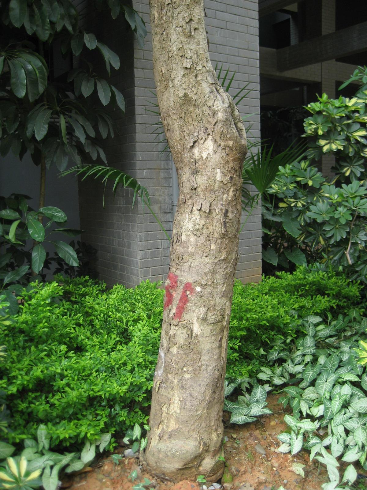 认这个大乔木是什么树