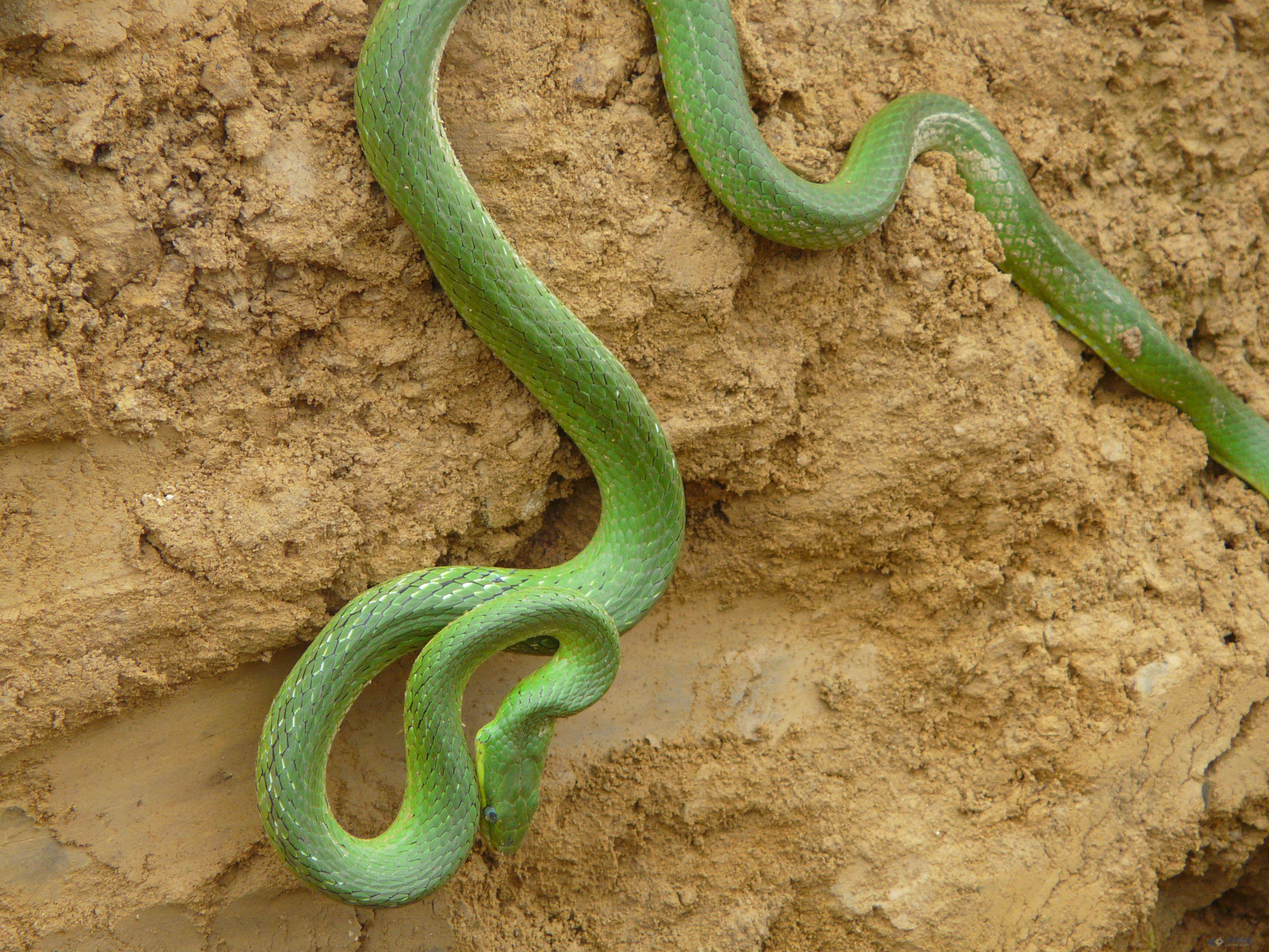 什么蛇?有没有毒?图片1