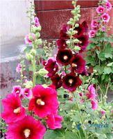 蜀葵2.jpg