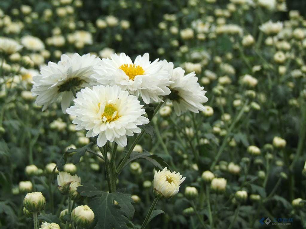 翠菊5.jpg